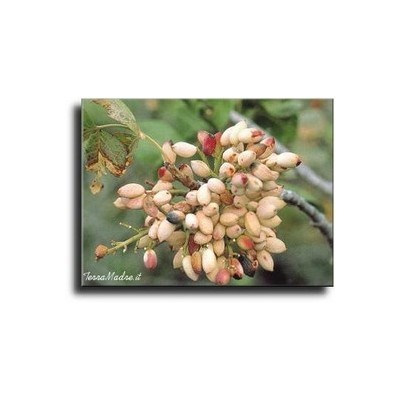 Shelled Pistachios of Bronte