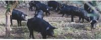 Schwarzes Schwein der Nebrodi
