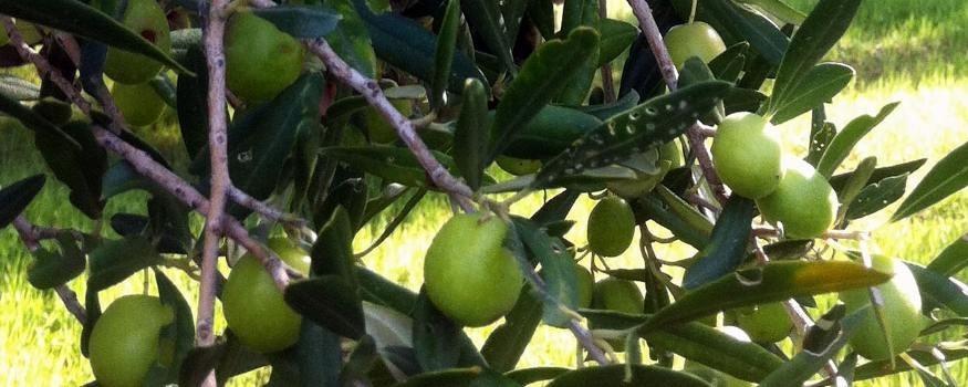 Huile d'olive vierge sicilien