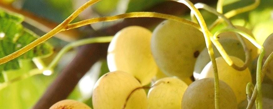 Sizilianischer Weißwein