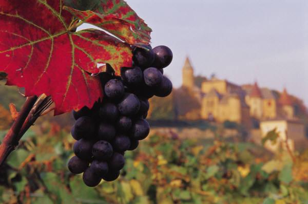 Sicilia - Grappolo d'uva